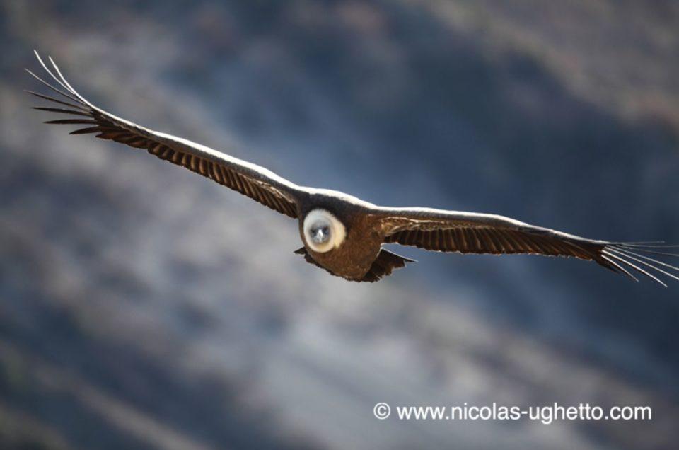 Les vautours fauves de la Nesque